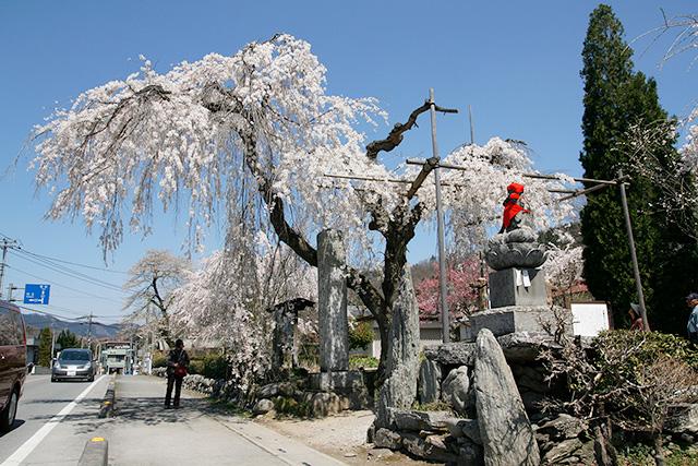 法善寺のしだれ桜